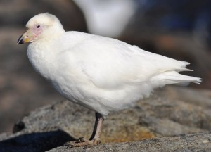 mini-Greater sheathbill3